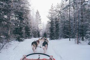 un attelage de chiens de traineau
